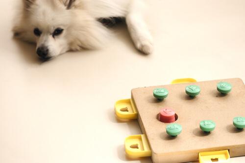 Perro tratando de resolver un puzzle.