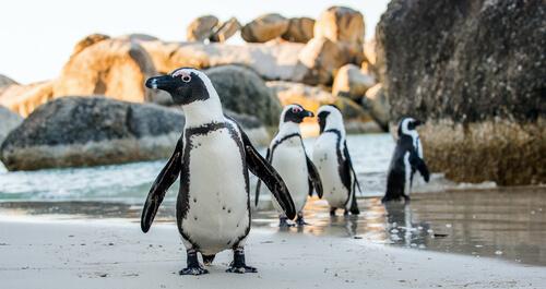 Vocalizaciones en pingüinos dentro y fuera del agua