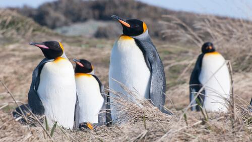 Grupo de pinguinos reyes.