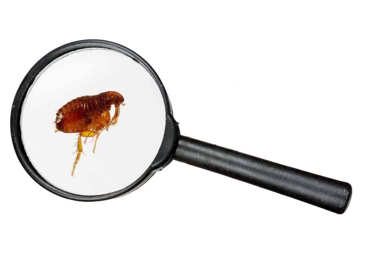 Las pulgas son parásitos de los perros.