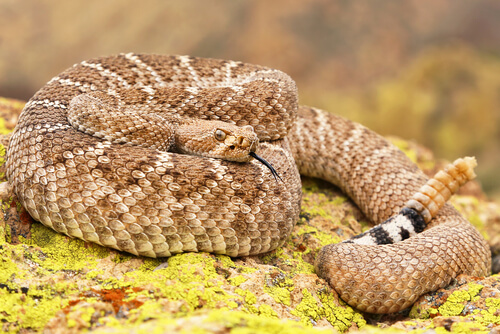 ¿Las serpientes de cascabel usan sus escamas para almacenar agua?