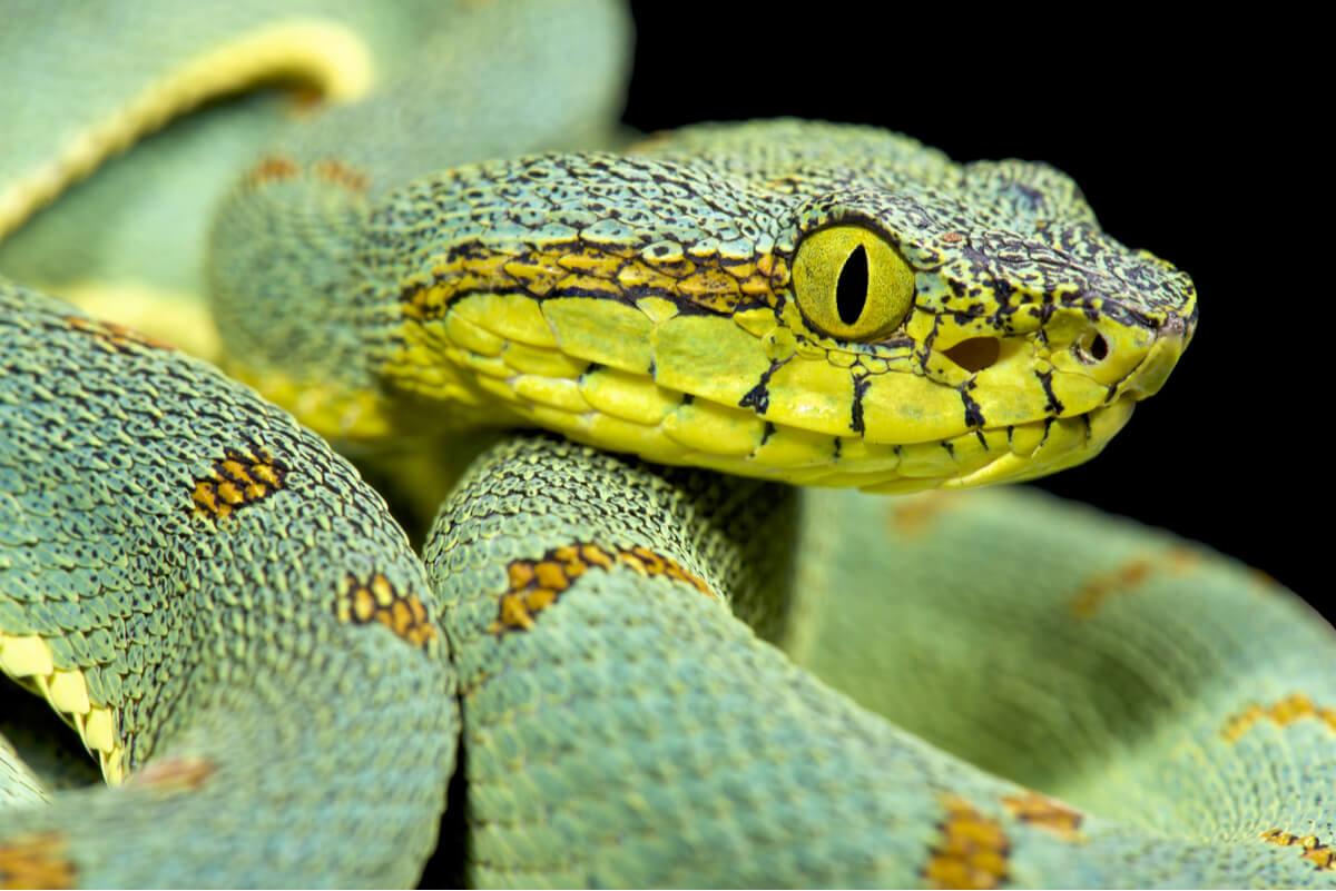 Una serpiente venenosa sobre un fondo negro.