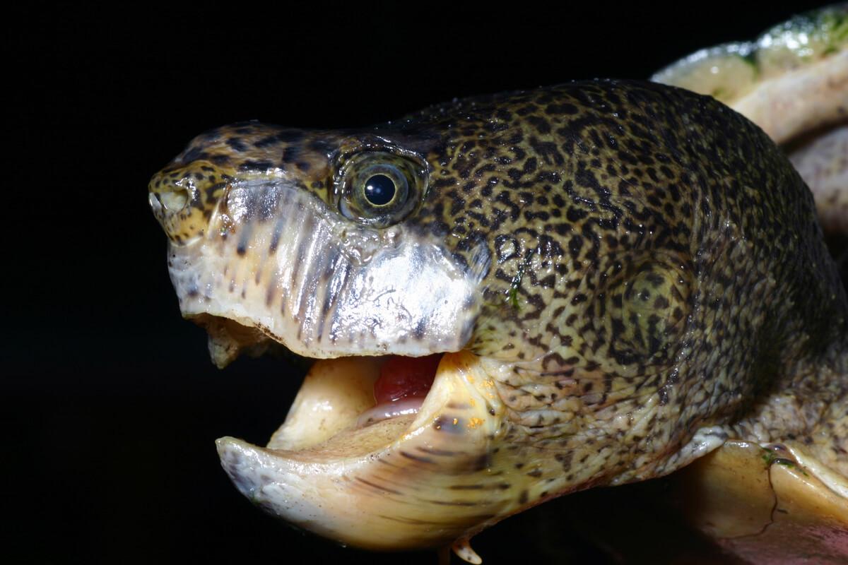 La cabeza de una tortuga almizclera.