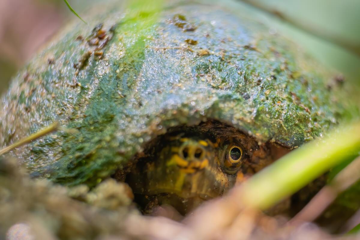 Una tortuga almizclera duerme.