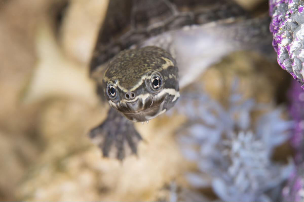Una tortuga se asoma a la superficie.