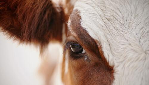 Mosca en el ojo de una vaca.