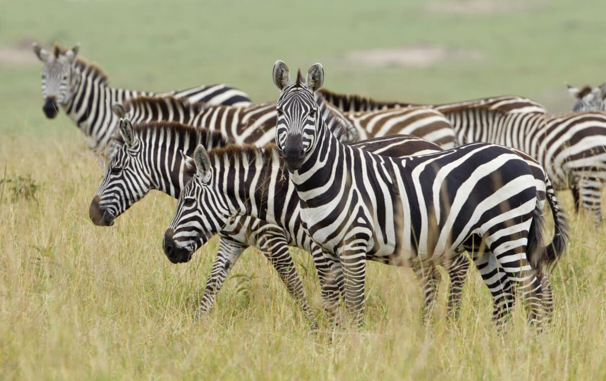 Una zebra mirando a cámara.