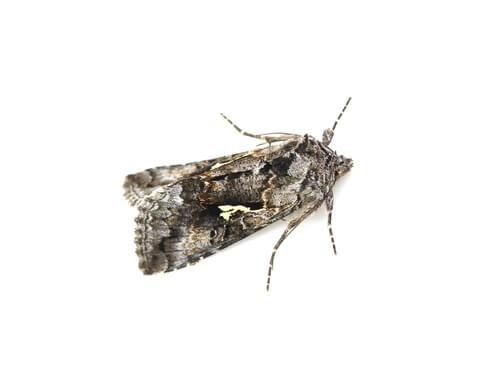 ¿Polilla o mariposa?