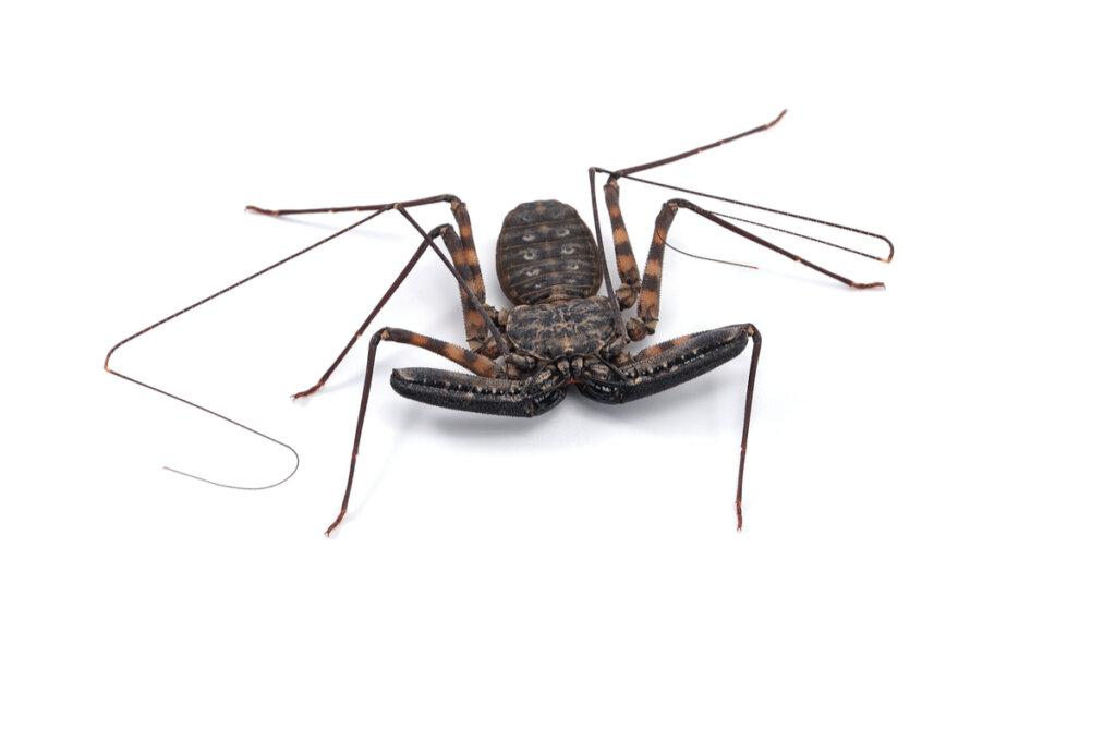 Amblipígidos: entre arañas y escorpiones