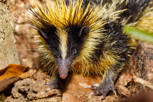 Un espécimen de la familia tenrecidae.