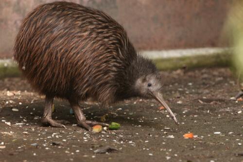 Kiwi en una protectora animal.