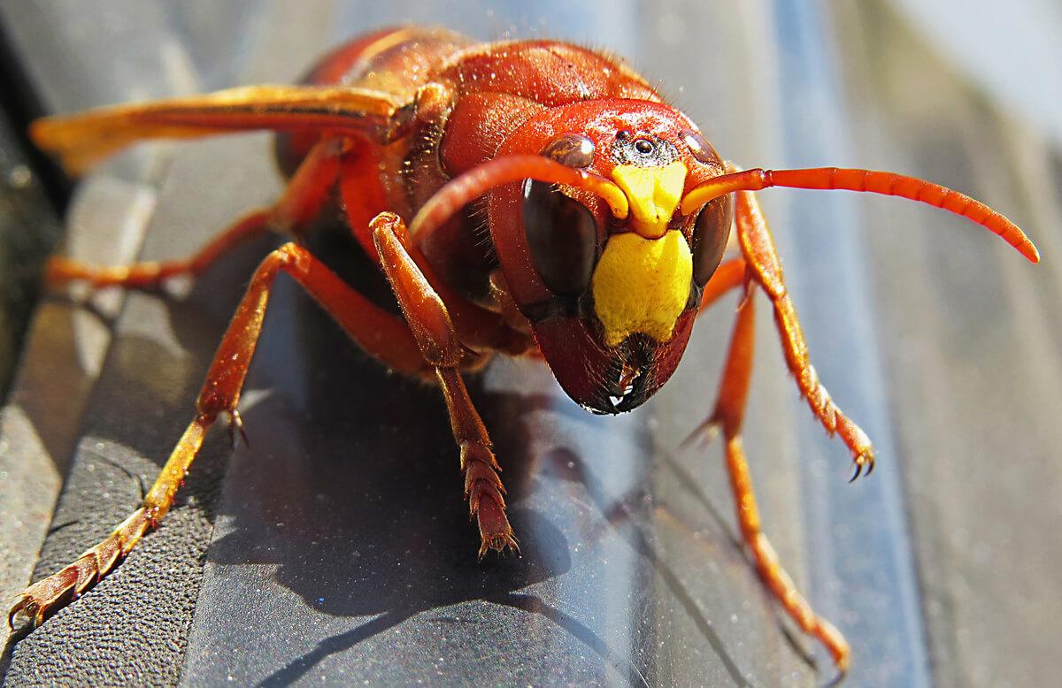 Un calabrone gigante asiatico.