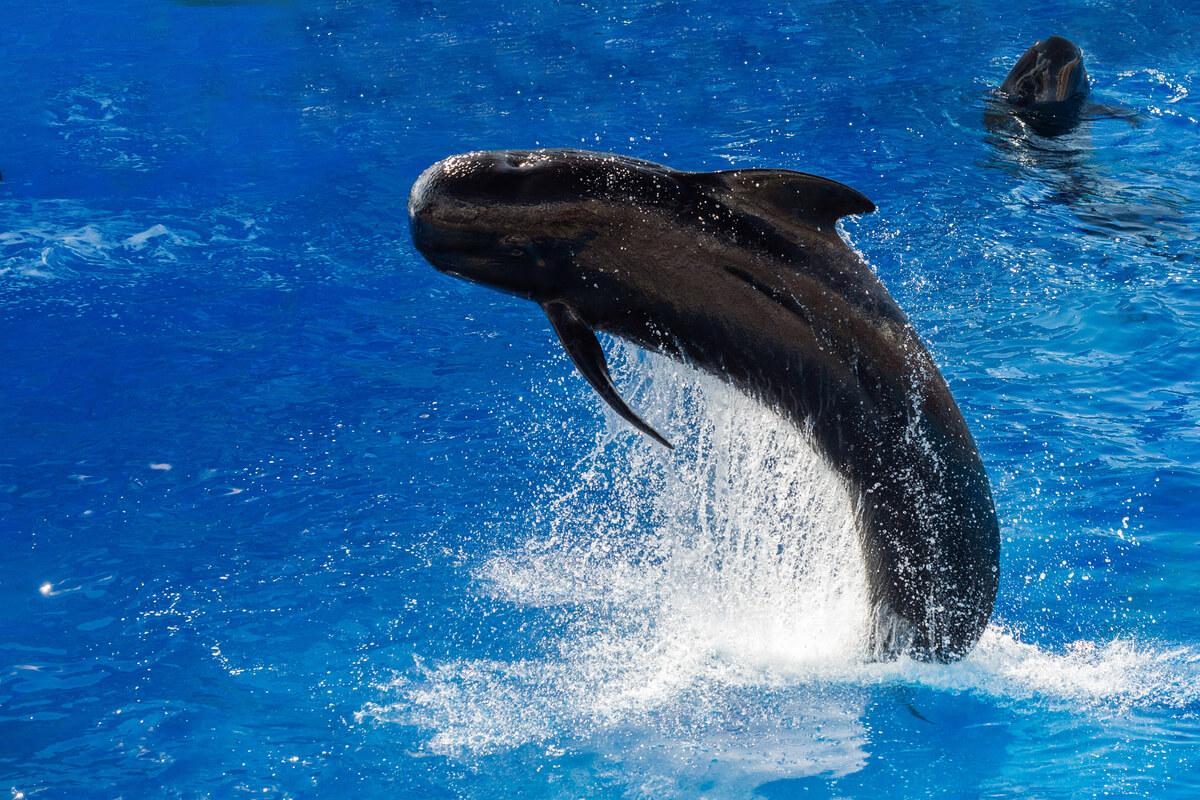 Una ballena piloto saltando del agua.