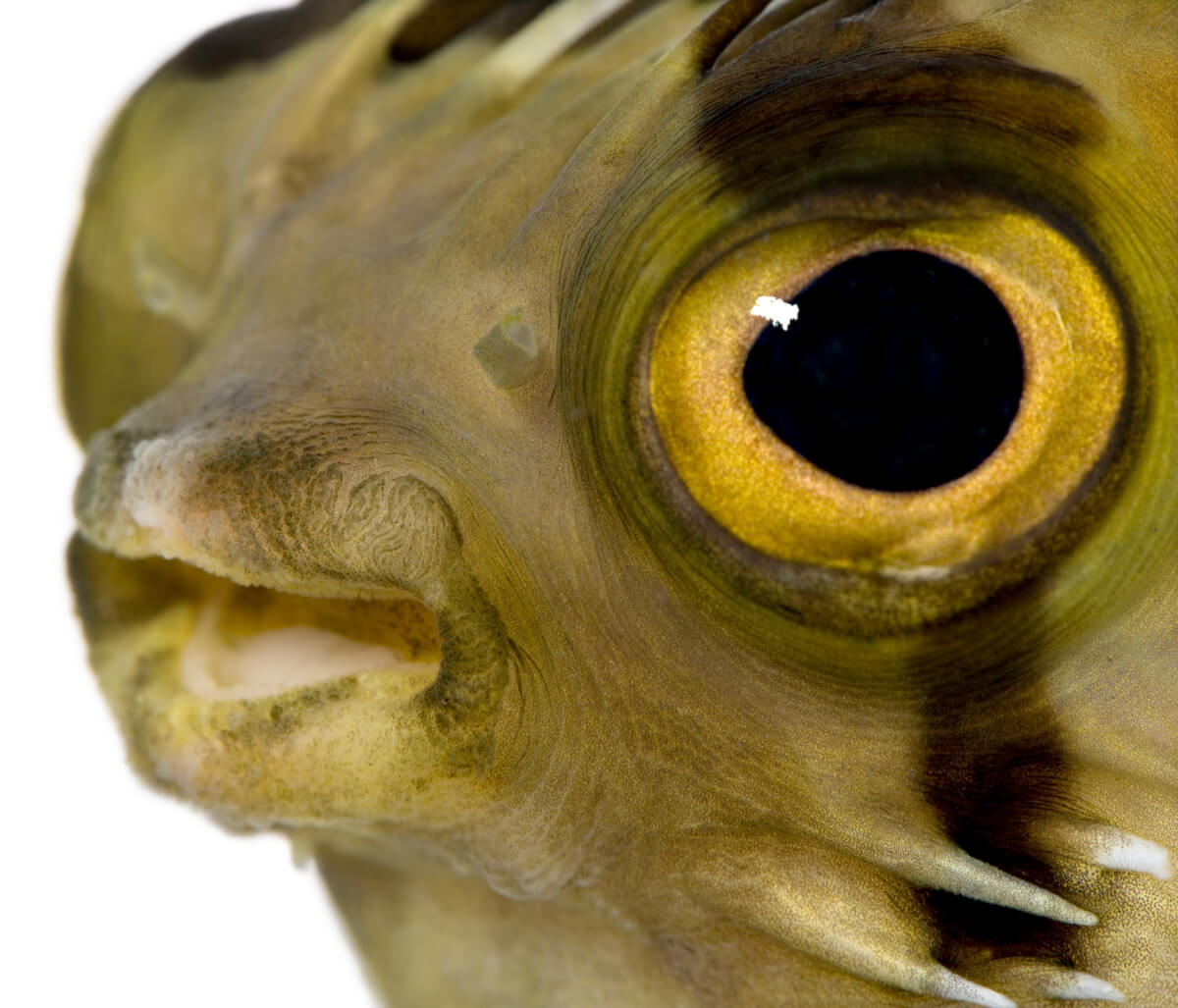Cabeza de un pez globo.