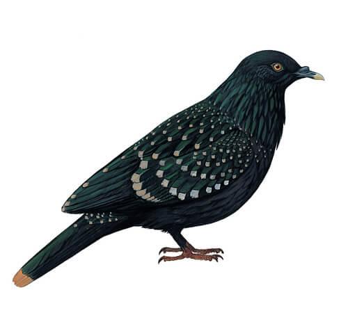 La paloma de Liverpool: hábitat y comportamiento