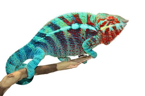 ¿Por qué ocurre el cambio de color de los camaleones?