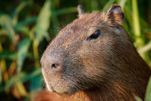 El carpincho: el roedor más grande del mundo