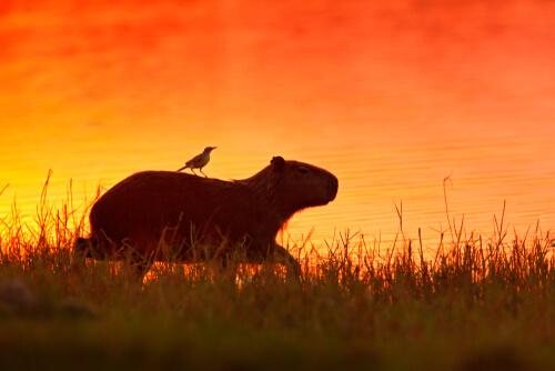 Un carpincho con un pájaro en su espalda.
