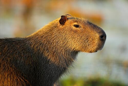 El carpincho es el roedor más grande del mundo.