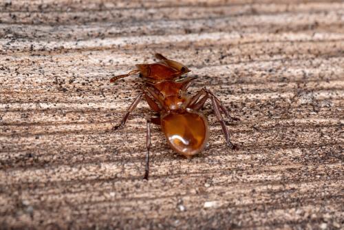 Hormiga tortuga soldado por detrás.