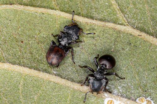 Hormigas tortuga soldado.
