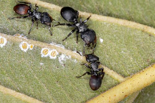 Hormigas tortuga soldado: defensa con la cabeza