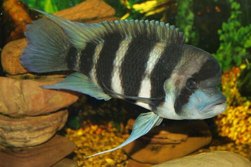 Cíclidos: los peces también muestran inteligencia