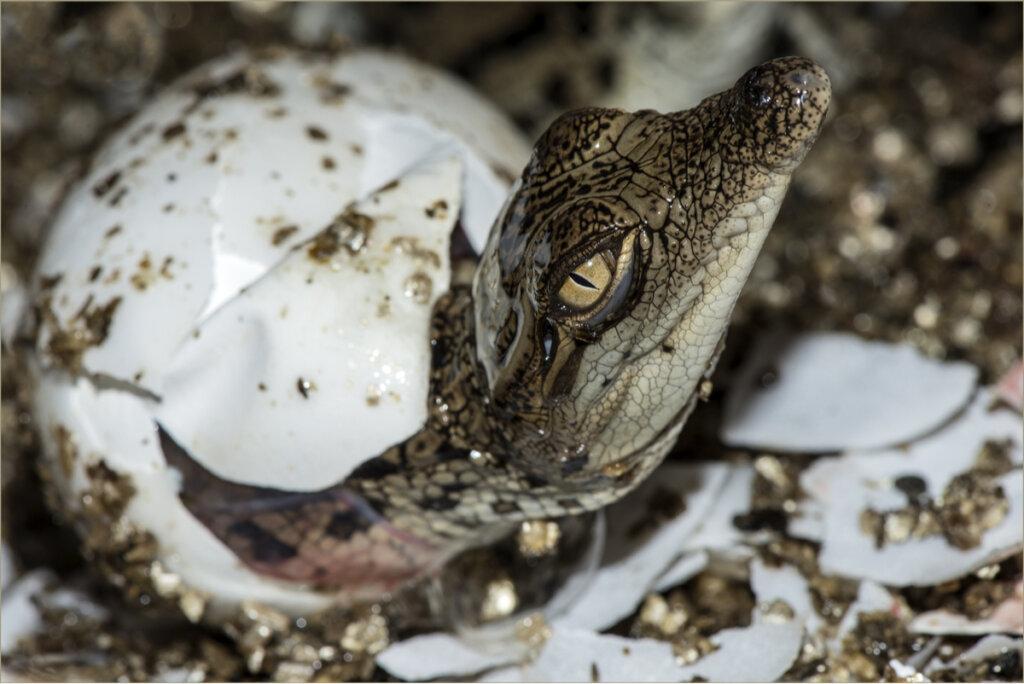 ¿Cómo se reproducen los cocodrilos?