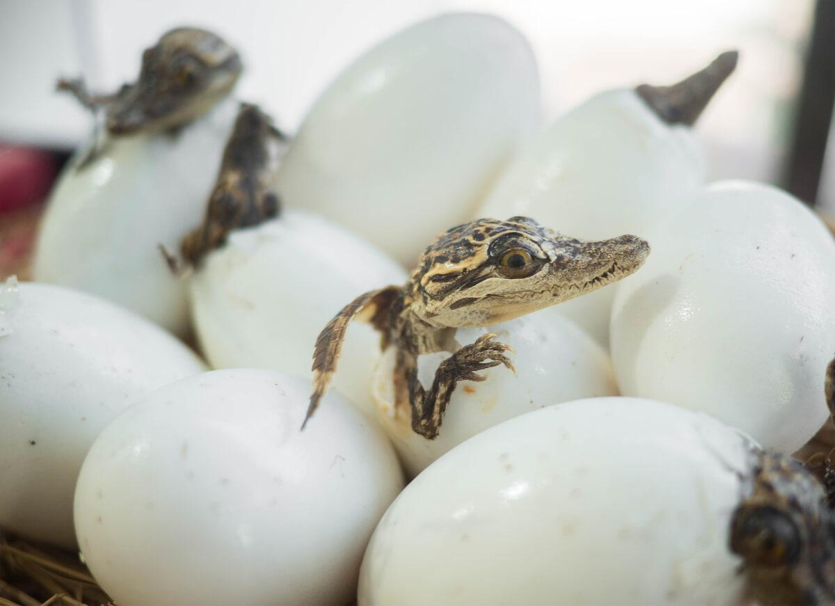 Huevo y cocodrilo.