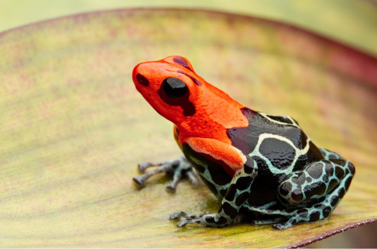 Una dendrobates roja sobre un fondo blanco.