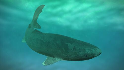 Un dibujo del tiburón más longevo del mundo.