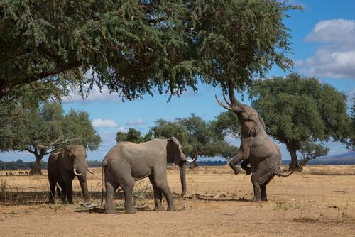 Elefantes comiendo en medio natural.