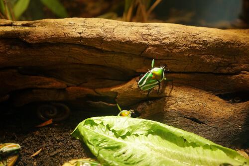 Escarabajos en terrario