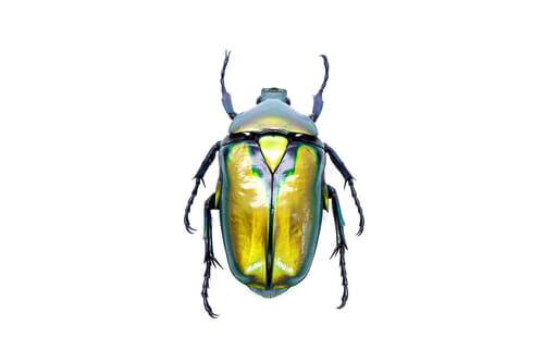Escarabajos como mascotas: todo lo que debes saber