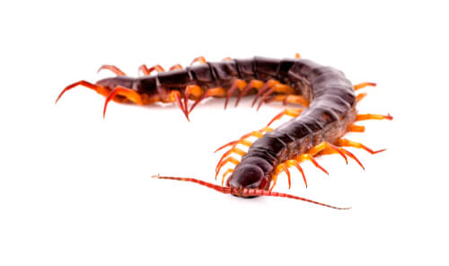 Scolopendra on white background
