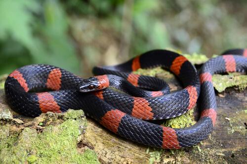 Una serpiente falsa coral ejerciendo el mimetismo.