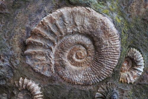 Fósil de amonites grabado en piedra.