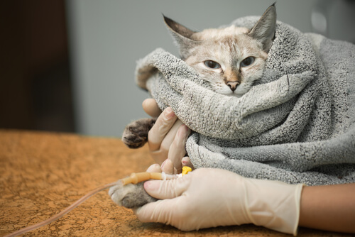 Pancreatitis en gatos: causas y síntomas