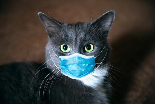 Un gato con una mascarilla quirúrgica.