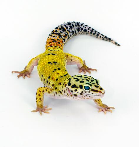 Gecko leopardo sobre fondo blanco.