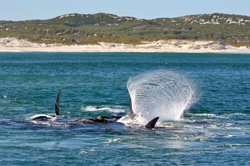 Un grupo de ballenas francas.