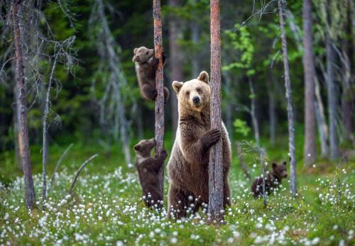Grupo de osos en el campo.