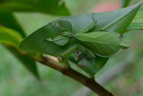 El insecto hoja: ¿cripsis o mimetismo?