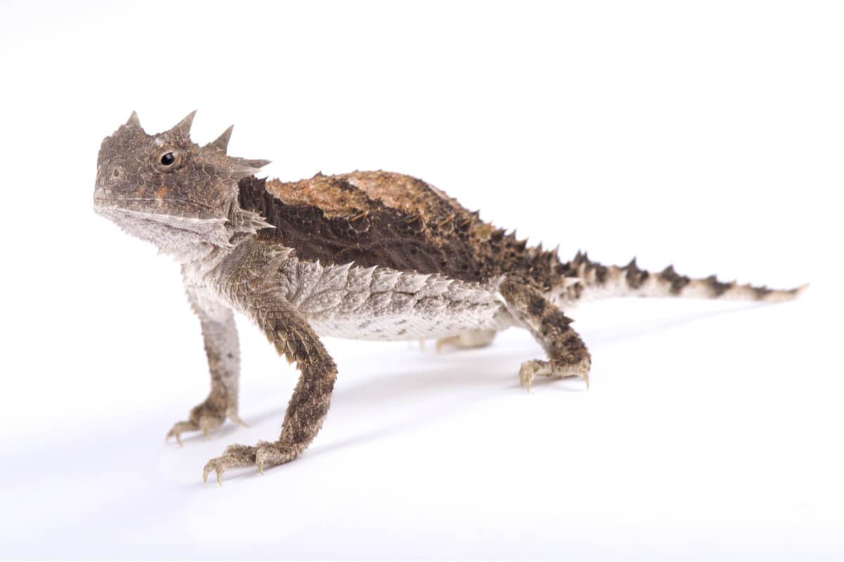 Un lagarto cornudo de cuerpo entero.