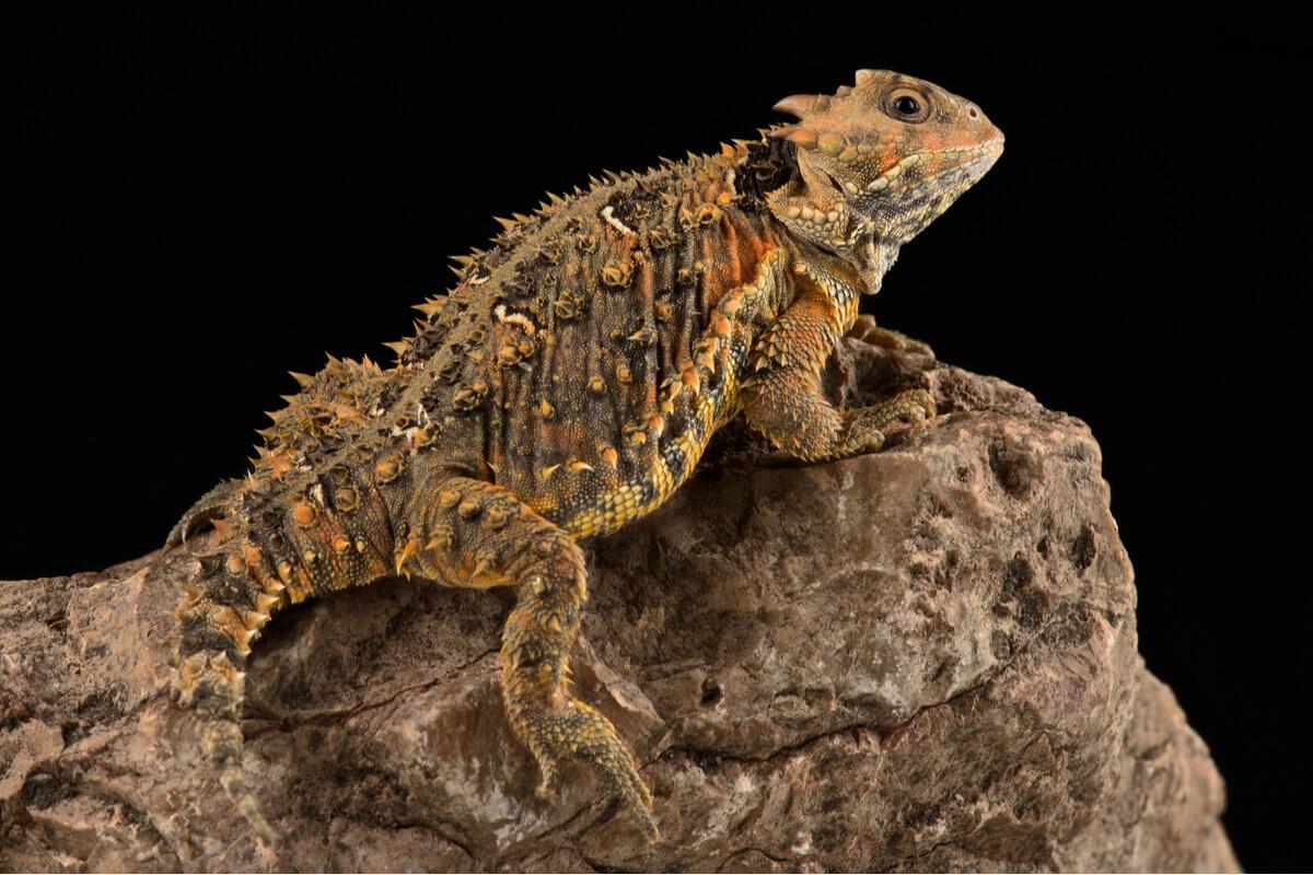 Un ejemplar de lagarto cornudo sobre un fondo negro.