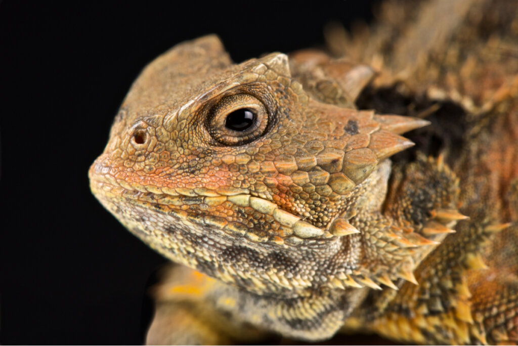 El lagarto cornudo: un reptil que llora sangre