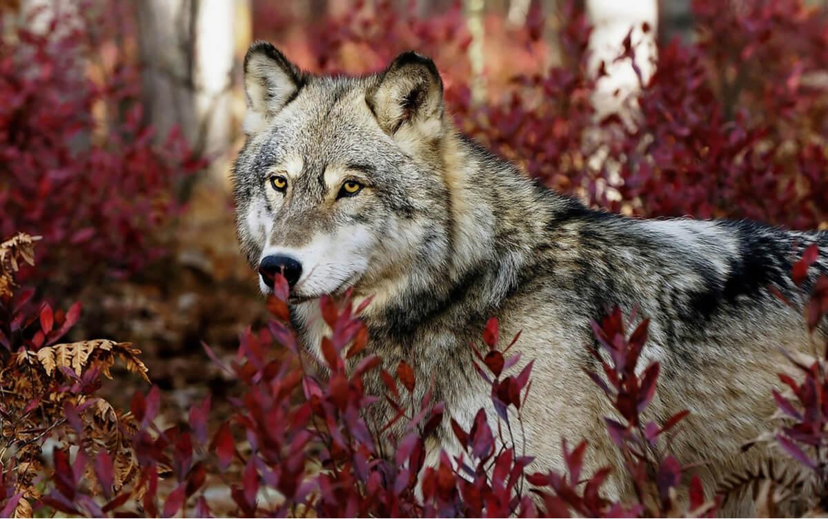 Yellowstone: ¿Cambió el lobo gris el curso de los ríos?