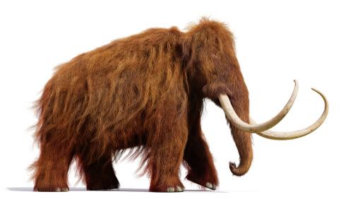 Los mamuts son antepasados de los elefantes.