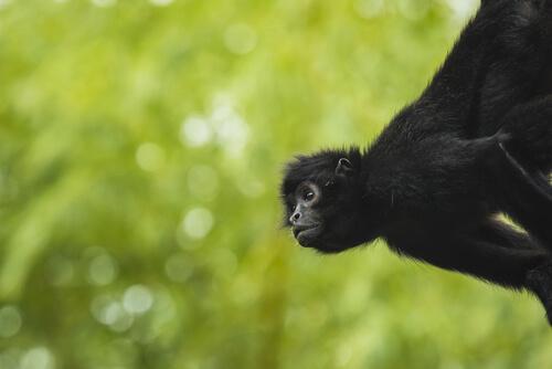 Mono araña sobre fondo natural.
