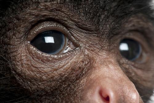 Monos araña: características y hábitat